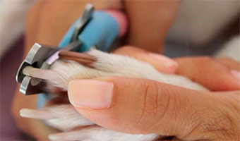 Pedicura canina